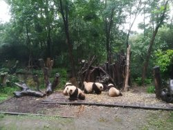 A group of Giant Pandas