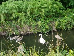 Swans & cygnets go for a paddle